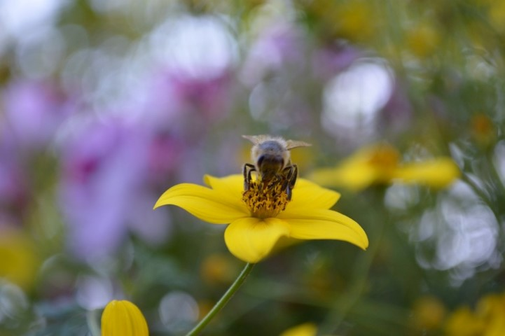 netzwerk natur, EwN Biene